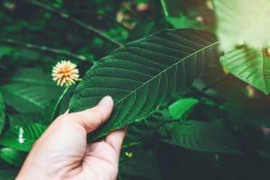 Kratom Leaves Mitragyna Speciosa