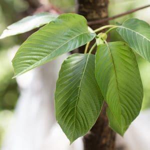white kratom leaf