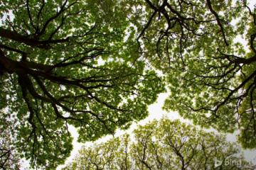 Canopy kratom