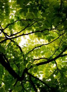 Kratom High canopy
