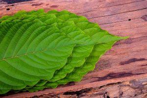 Red Borneo strain of kratom