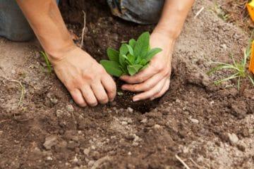 buy kratom plant online