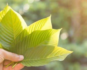 white vein kratom leaves