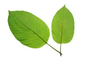 buy green vietnam kratom
