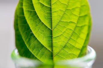 buy green vein thai kratom
