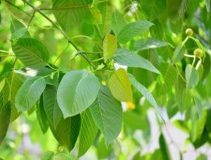 kratom leaves varieties for sale