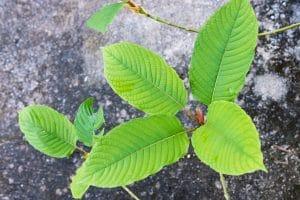 Maeng Da Kratom Plants for Sale online near me