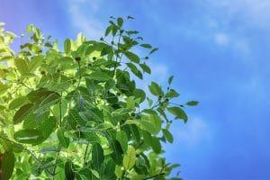 buy Maeng Da Kratom Plants for Sale usa